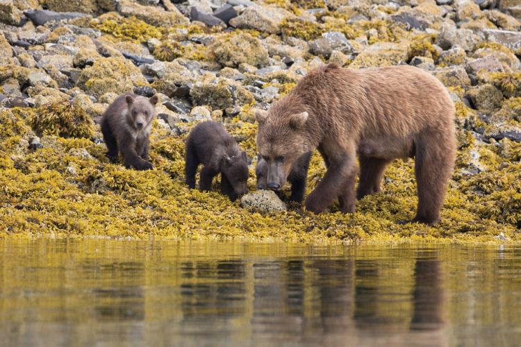 Brown bear with cubs, Alaska cruise