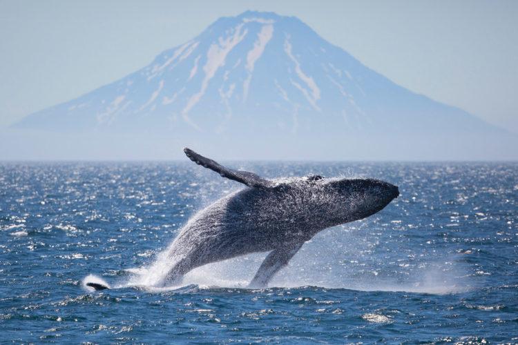 Humpback breaching, during Silversea Cruise